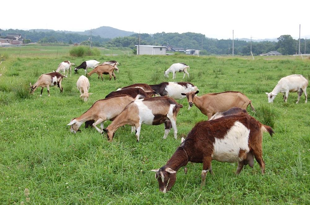 山地酪農という自然放牧スタイルで育成