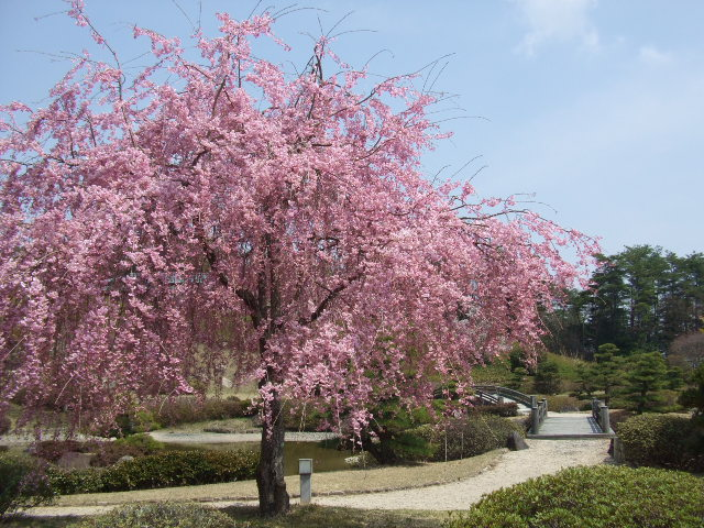 美しい枝垂桜の下で一服。春を愉しんでみませんか。